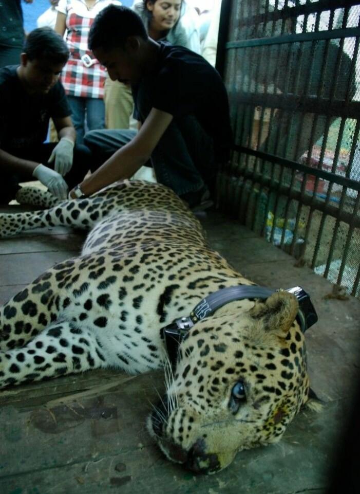 Leoparden liker ikke å flytte. Da kan den bli farlig.