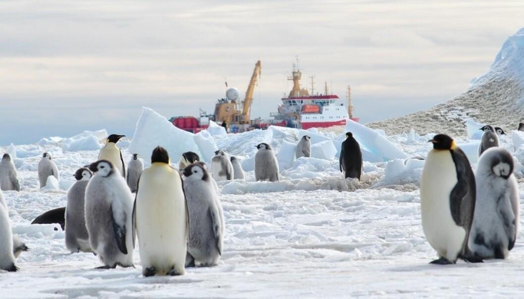 Pingviner møtte forskningsskipet R.V. Shackleton ved isbremmen i Weddellhavet i 2013.