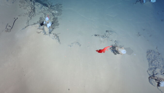 Svampene og rekene er ikke avhengig av skorsteinene, de trives i det store kalde dypet. Akkurat hvilke arter det er snakk om er ikke forskerne sikre på enda.