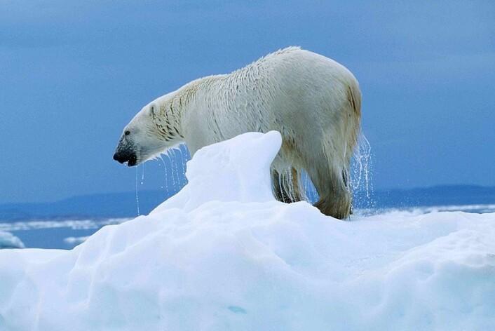 Isbjørn i Ukkusiksalik National Park i Nunavut, Canada. (Foto: Ansgar Walk)