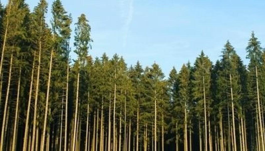 Vil økt bruk av biobrensel fra norsk skog øke CO2-utslippene?