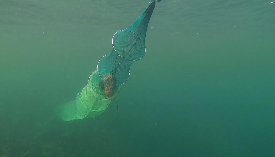 Gjenganger-torsken lot seg ikke stoppe av ubehaget ved å bli veid og målt, men gikk i samme ruse hele fem ganger.