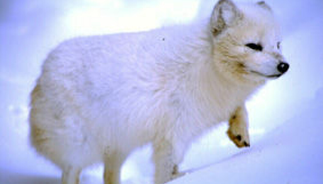 Rabies på Svalbard