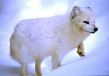 """""""Fjellreven på Svalbard er ikke isolert. Den kan vandre over store avstander, for eksempel fra Canada til Grønland."""""""