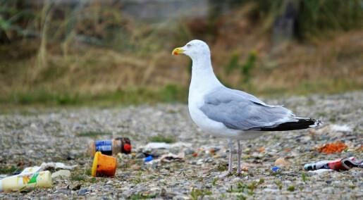 Forskere vil overvåke plast i gulp og skit fra sjøfugl