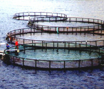 Lakselus og rømt oppdrettsfisk er et stort miljøproblem.