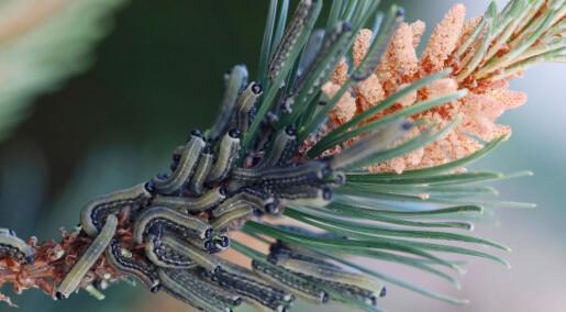 Trær kan «lukte» kommende angrep fra insekter