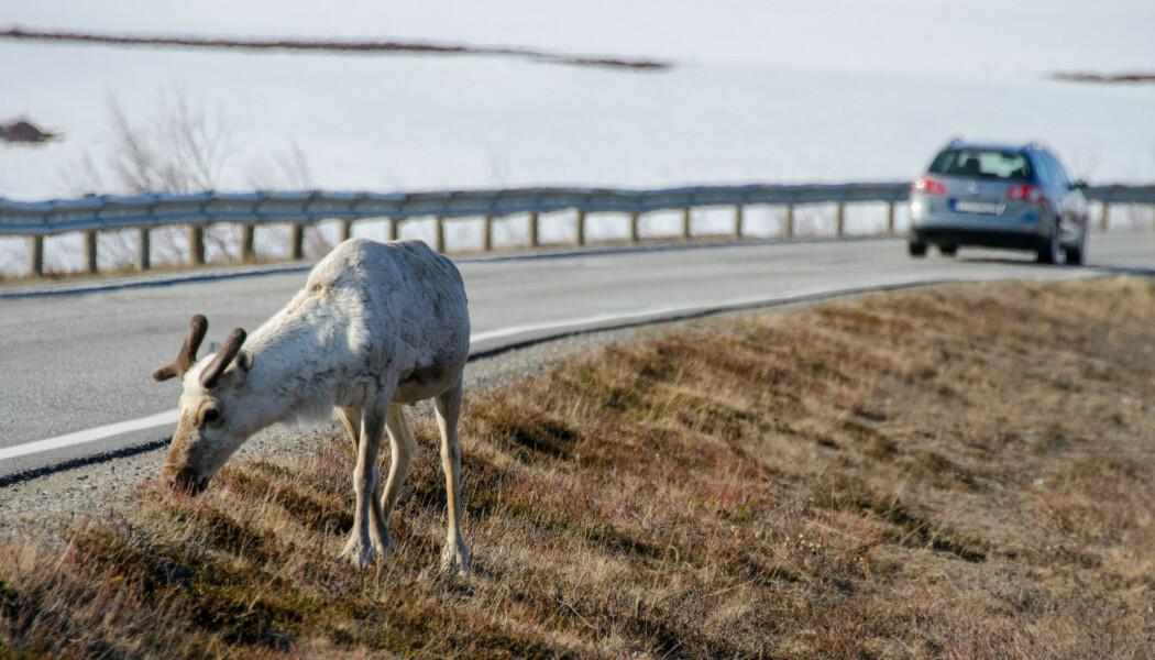 Langs enkelte veistrekninger er risikoen stor for å møte på reinsdyr. Forskerne ønsker å bidra til å begrense antallet årlige påkjørsler.