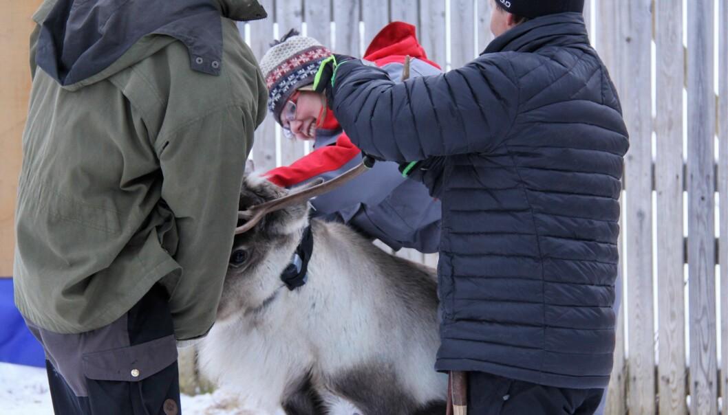 Forsker Grete H.M. Jørgensen fra NIBIO setter på klave med sender. Kanskje går denne reinen en tryggere vinter i møte.