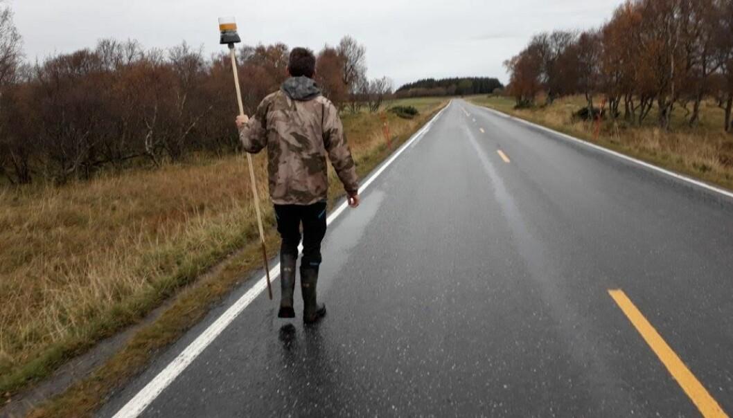 Forsker Svein Morten Eilertsen setter ut lampe med mottaker langs veien. Når reinen kommer i nærheten begynner lampa å blinke. Bildet er fra testforsøk på sau ved NIBIO Tjøtta.