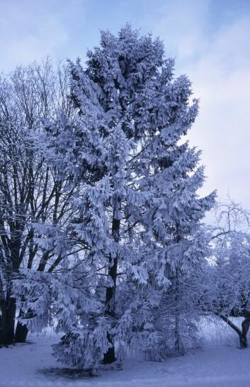 Når nettene blir lange og kulda setter inn – skal trær overleve Norges barske vinterklima må veksten avsluttes i tide før høstfrosten setter inn. (Foto: Lars Sandved Dalen/Skog og landskap)