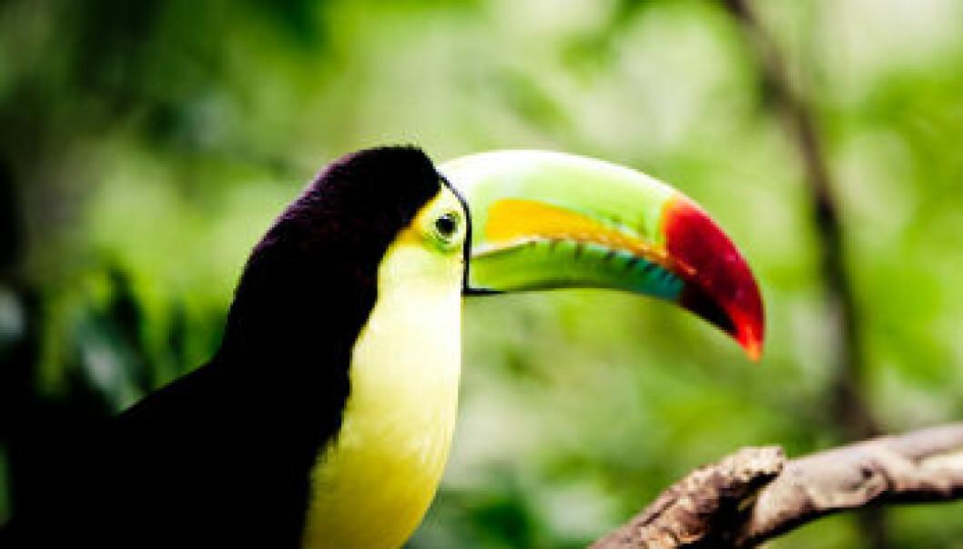 En toucan-fugl i sør-amerikansk regnskog. iStockphoto