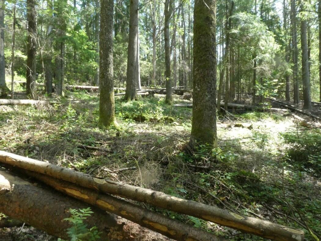 I TRANSFOREST-prosjektet prøver vi å fremelske edelløvskogen ved å ta ut gran og bjørk.