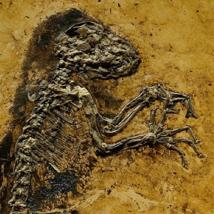 Ida - Darwinius masillae - det manglende mellomleddet. (Foto: Jørn Hurum, Geologisk museum ved Universitetet i Oslo.)