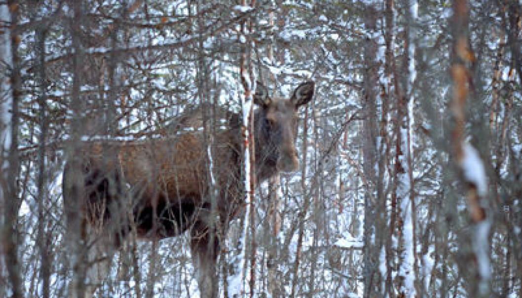 Bly fra ammunisjon brukt mot dyr i skogen tas opp i blodet hos mennesker når vi spiser det, skriver kronikkforfatterne. Colourbox.com