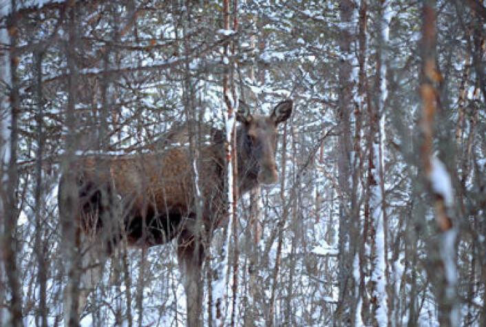 Bly fra ammunisjon brukt mot dyr i skogen tas opp i blodet hos mennesker når vi spiser det, skriver kronikkforfatterne. (Foto: Colourbox.com)