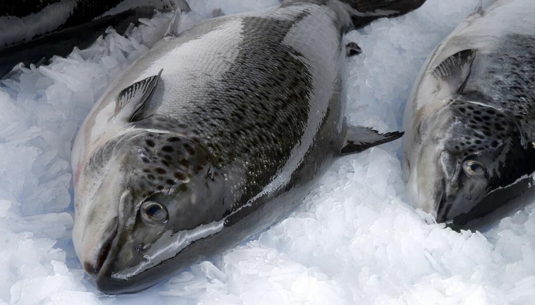 Sjølv om laks er ein høgkvalitetsfisk, skal ein vaksinedose helst ikkje kosta meir enn rundt ei krone.