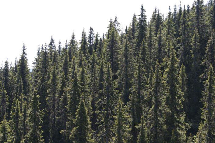 Skogen er tettere og trærne større enn noen gang før. I Norge er det nå 2,5 ganger så mye stående kubikkmasse som det var i 1925. Bildet viser en tett granskog på produktiv skogsmark. (Foto: John Y. Larsson / Skog og landskap)
