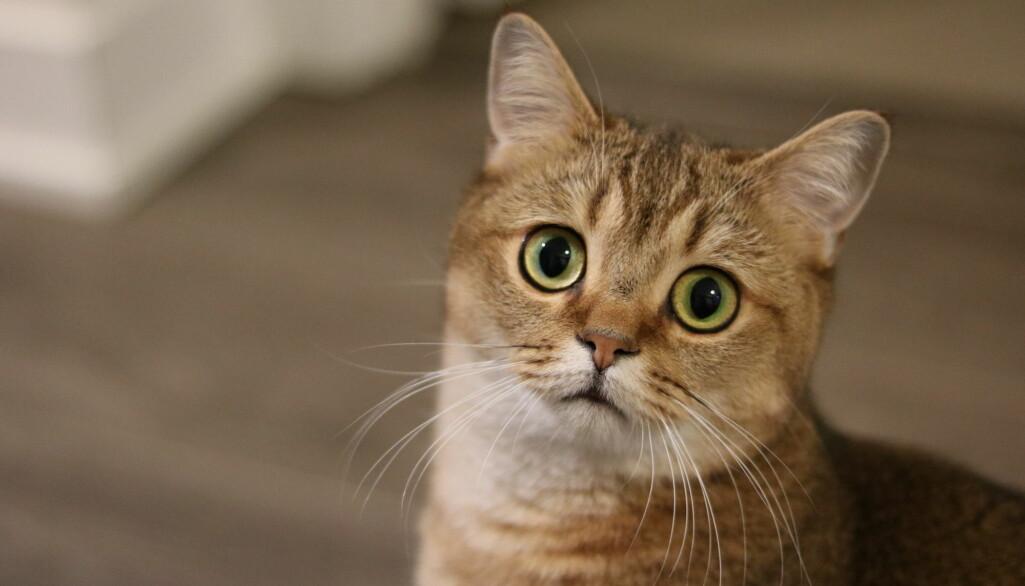 – Katter forteller oss ting med ansiktet, og hvis du er dyktig, så kan du legge merke til det, sier en av forskerne bak en ny studie.