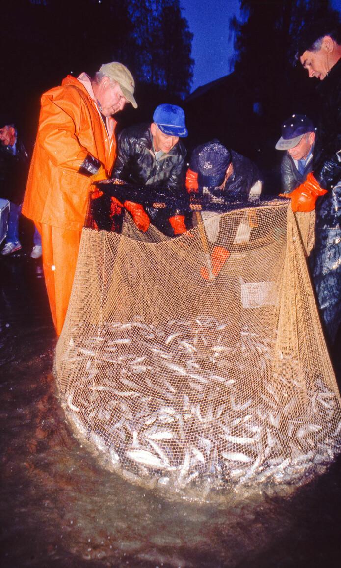I Lågen ved Fåberg drives lågåsild-fiske med not fortsatt på tradisjonelt vis. På dette bildet fra rundt år 2000 har ihuga lågåsildfiskere på Lortvarpet fått storfangst, 600 kilo lågåsild på ett not-drag.