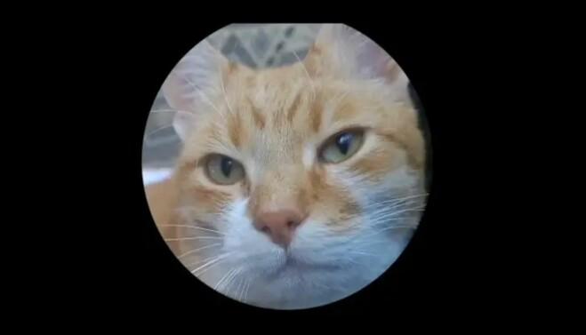 Er katten fornøyd eller misfornøyd? Riktig svar her er at den viser positive følelser, den har netopp hilst blidt på eieren og hoppet opp på fanget.