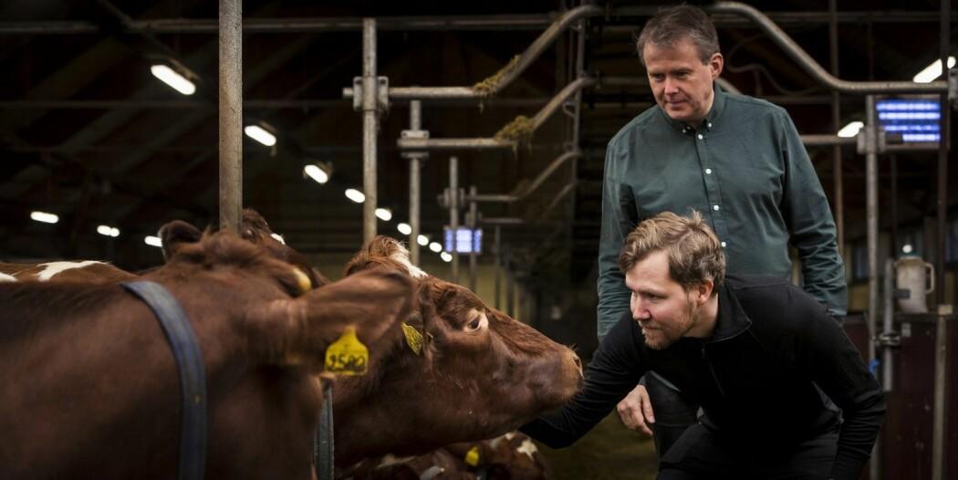 Ved å fange opp metangass som slipper ut når kyr raper på båsen, vil forskerne Tor Olav Sunde (foran) og Yngve Larring utnytte ubrukt energi – og spare klimagassutslipp i samme slengen. Her er de i fjøset på Bygdø Kongsgård som er med på forskningsprosjektet.