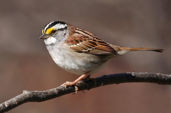 Det er flest hvitstrupespurver blant fuglene de amerikanske forskerne har studert.