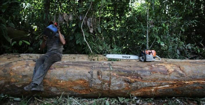 En mann har blitt tatt på fersken i å hugge trær i regnskogen i Amazonas nær Novo Progresso i Brasil. (Foto: Reuters)