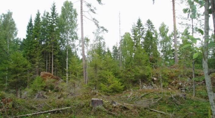 Uttak av hogstavfall (spesielt greiner og topper, GROT) kan bli en viktig kilde til biobrensel i Norge. (Foto: Lars Helge Frivold)