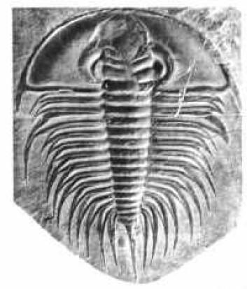 """""""Trilobittene forsvant i katastrofen som ga oss overgangen fra perm til trias, men hadde vært på retur i manfoldige millioner år før den tid."""""""