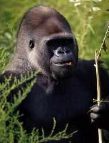 """""""Flatlusa hoppet fra gorillaer til mennesker."""""""