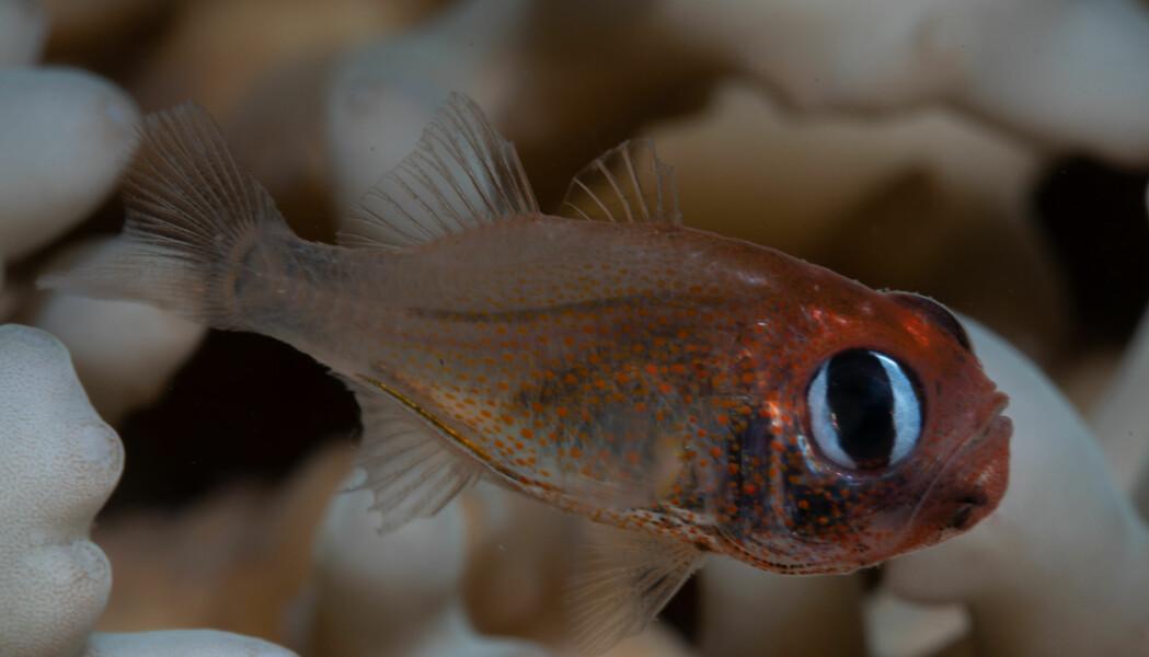Denne lille fisken har tilsynelatende «katteøyne», og er en av 71 nye dyrearter funnet av California Academy of Sciences.