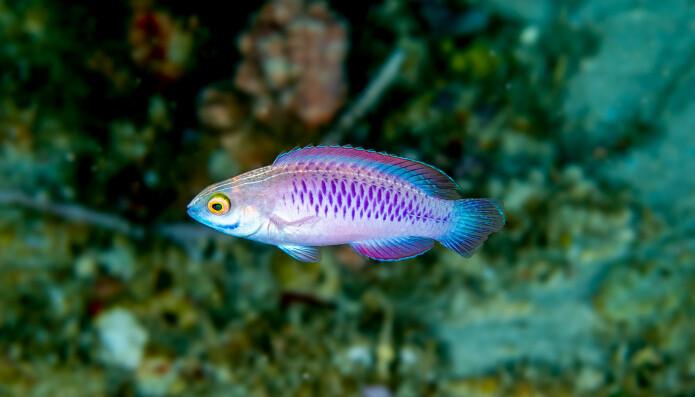 Cirrhilabrus wakanda sine skjell er så kraftig lillafarget at fargene henger igjen også etter bevaring.