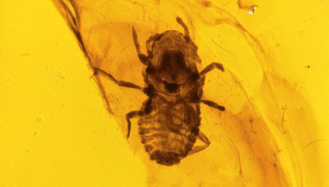 Kjenner lusa på gangen: Den flate kroppen og de korte beina vitner om at dette 100 millioner år gamle insektet var en dinosaurlus.