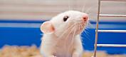 Kan vi bruke rotter til å forske på empati hos mennesker?
