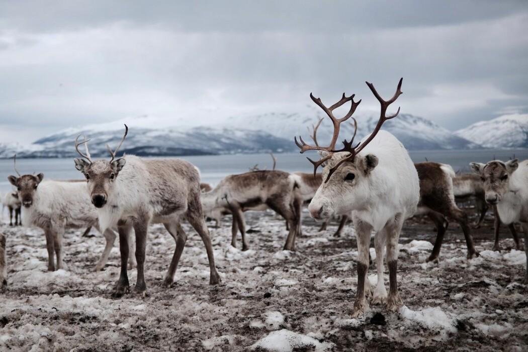 Etter at skrantesyke ble funnet hos reinsdyr i den ene av to soner i Nordfjella i 2016, har myndighetene skutt alle villreinene i den ene sonen, i et forsøk på å utrydde sykdommen.
