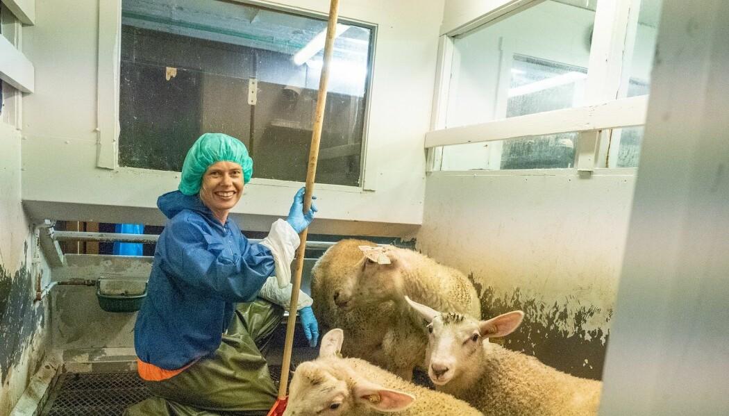 – Vi ønsker ikke at denne sykdommen skal spres til andre områder av Norge, og derfor er det viktig å finne ut om sauen kan være smittebærer, sier Cecilie Ersdal. Her i saufjøset.