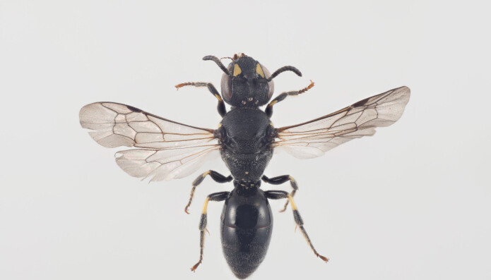 Ny art for Norge: Sumpmaskebie Hylaeus pectoralis er knyttet til takrørskoger. Den kan man få øye på sent i juni og utover i juli.