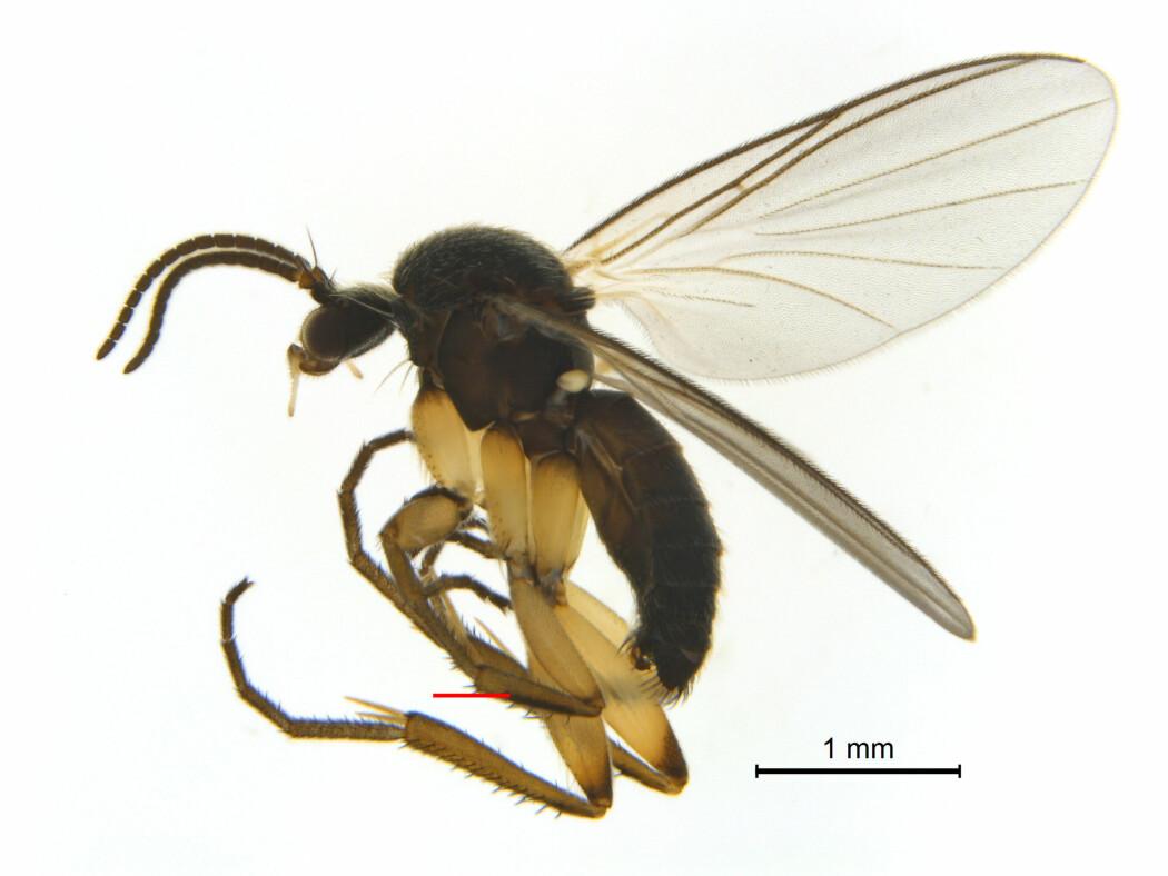 Soppmyggen Docosia tibialis ble fanget i Norge for første gang i 2016, i Reisa nasjonalpark i Troms. Der bodde den i gammel furuskog.