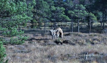 Vill suksesshistorie: Hjorten var nesten utrydda i Noreg, no er den skogens konge
