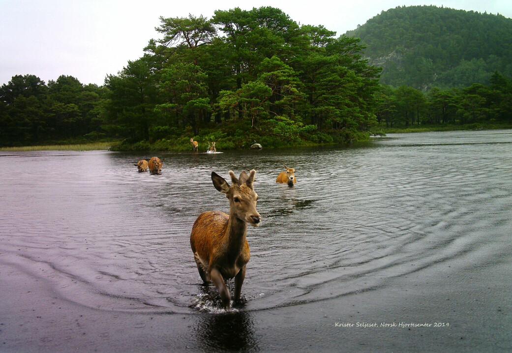 Kanskje får du ein dag sjå ein badande hjort? Hjorten likar å bade og svømmer gjerne lange avstandar i rett linje. Den er difor talrik på mange av våre øyer