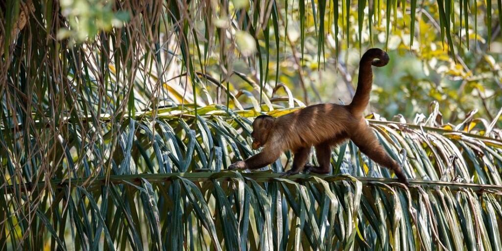 Kapusinerape i jungelen i Brasil. Hva kan vi gjøre for å gjenopprette balansen når noen arter forsvinner?