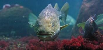 """""""Alderen for torskens kjønnsmodning har endret seg de siste 70 årene. Evolusjonen skjer raskt på grunn av menneskeskapte klimaendringer, og kan få følger for hele økobalansen i havet."""""""