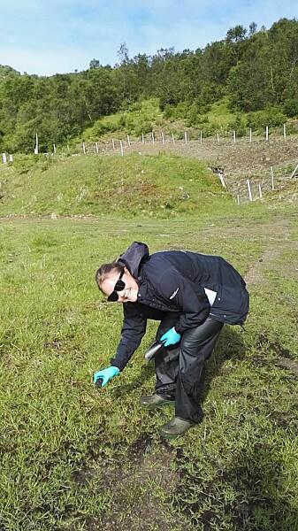 It's a dirty job, but somebody's gotta do it. FFI-forsker Ida Vaa Johnsen sanker sauemøkk på Melbu skytefelt sommeren 2017.