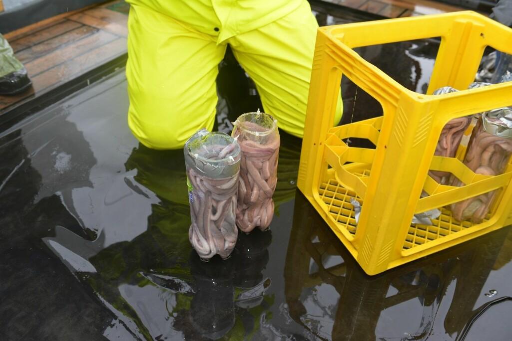 Slimålen hentes på 600 meters dyp i plastflasker.