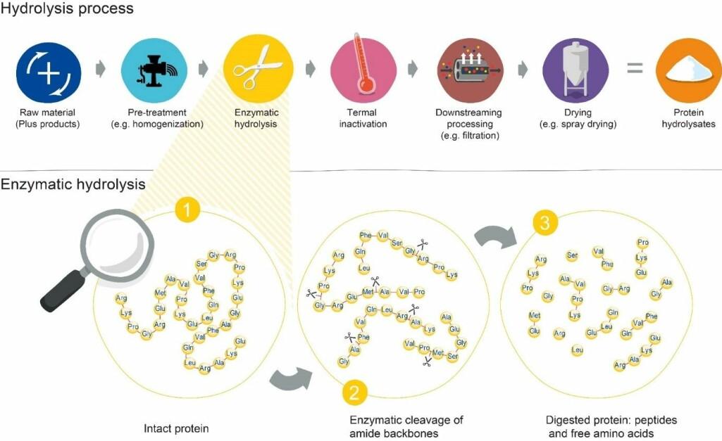 Illustrasjon viser den enzymatiske hydrolyseprosessen. Trinnet Kristoffersen utvikler målemetoder for, er den enzymatiske hydrolysen.