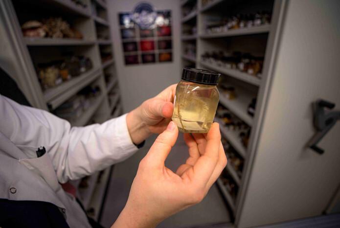 Et molekyl fra havdyret i dette glasset kan bli til ny medisin mot brystkreft.