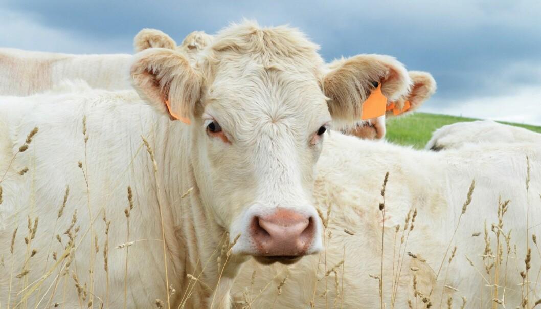 Morten Tofastrud har forsket på kjøttfe som beiter i utmark. Han mener potensialet for mer bruk av utmarksbeite er stort.