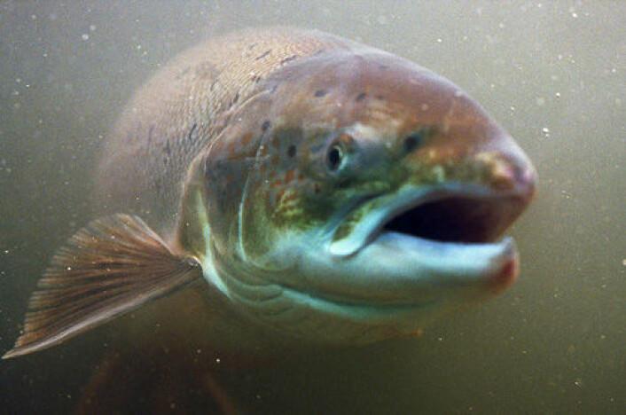 Laksens gener er påvirket av rømt oppdrettslaks i seks norske elver, viser ny undersøkelse. (Foto: Colourbox)