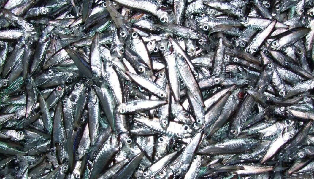 Ved hjelp av en ny matematisk modell som beskriver emosjonell atferd, fant forskerne at fiskenes emosjoner gjør bestanden ekstra levedyktig. Tidligere har all modellering av dyrs atferd vært basert på at dyrene tar rasjonelle valg, noe de i praksis aldri gjør. (Foto: Stein Kaartvedt/UiO)